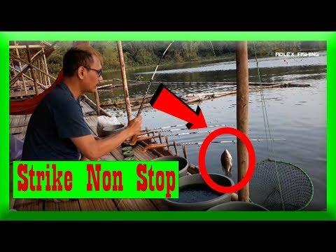 Mancing Ikan Nila di Jatiluhur STRIKE NON STOP