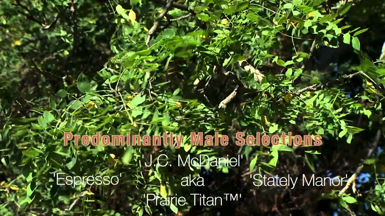 The Kentucky Coffee Tree - YouTube