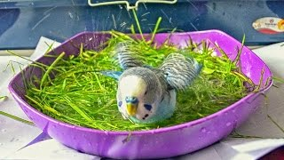 How to Give Your Budgie a Bath - THE EASY WAY