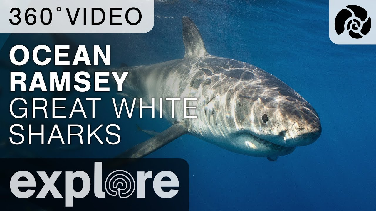 Ocean Ramsey Dives With Great Sharks - Isla Guadalupe 360 Video