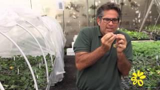 Cómo reproducir plantas trepadoras por esquejes