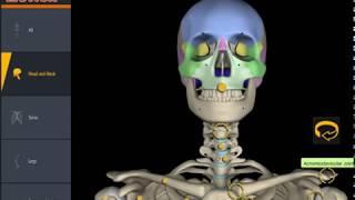 Скачать Анатомия Костная система человека 3д
