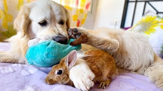Dog and Rabbit Play on the Bed