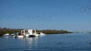 Over 100 Blue Footed Boobies circle the pray fish and dive at the s...