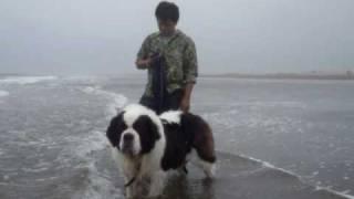 3歳になったセントバーナードのヨーゼフが海で遊んでいます。
