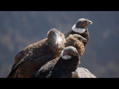 Colca canyon: 5 facts about our Andean Condor. Giardino Tours Peru.