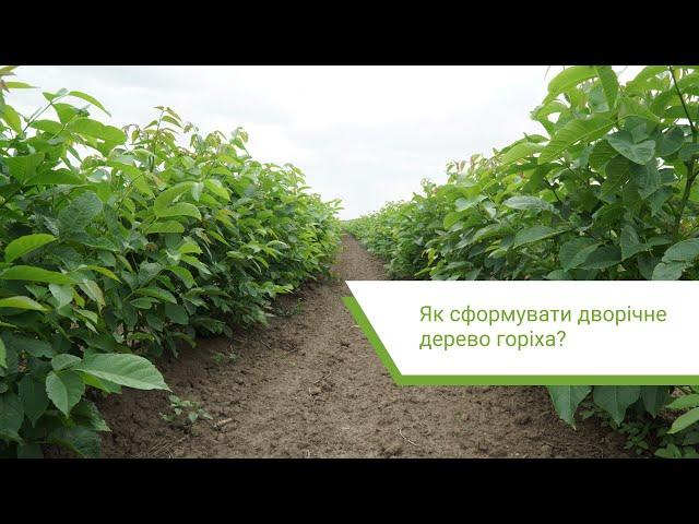 Як сформувати дворічне дерево горіха?