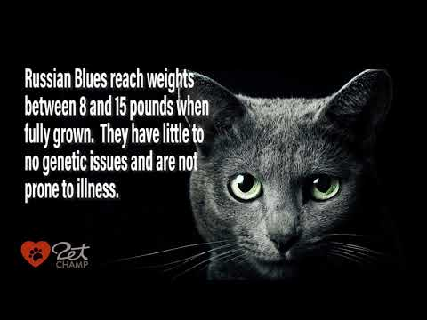 PETCHAMP'S Cat Breed of the Month - The Russian Blue Cat
