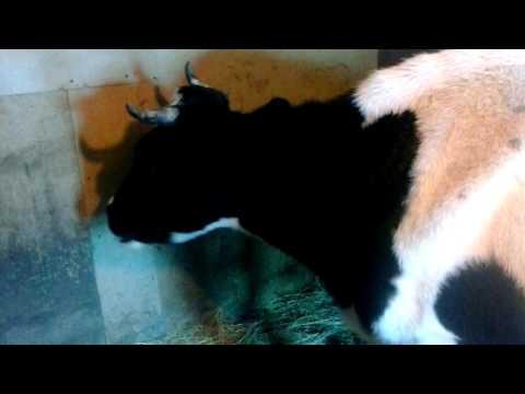 Корова жует жвачку.