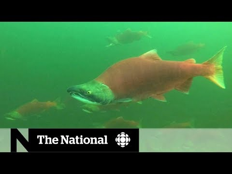Sockeye salmon return to B.C.'s Adams River