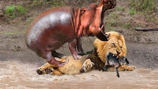 Life is Not Easy With The Lion King! Lion Hunting Fail Hippo And The Bitter End Receive???