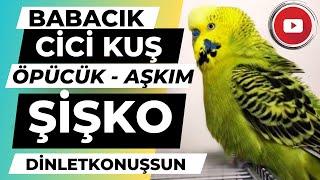 Muhabbet Kuşu Fıstık - Babacık Aşkım Fıstık Şişko dinlet konuşsun