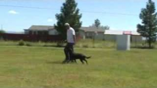 Off Leash Obedience Labrador Retriever