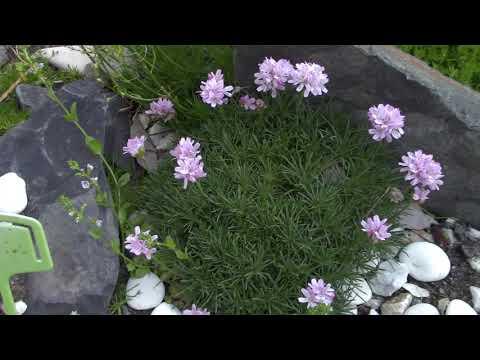 Моя небольшая скалочка-горочка. Какие растения расцвели...первая горечавка,левизии,вероники .....