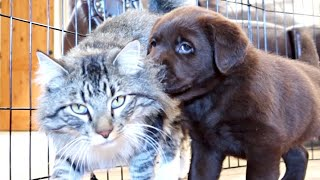 PUPPY MEETS CAT FOR THE FIRST TIME!