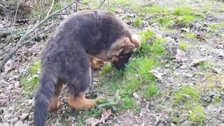 German Shepherd on a walk/Owczarek Niemiecki na spacerze