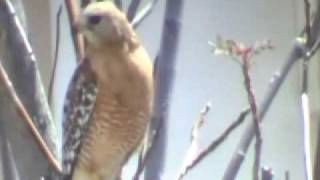 san jacinto,ca. a hawk in the city