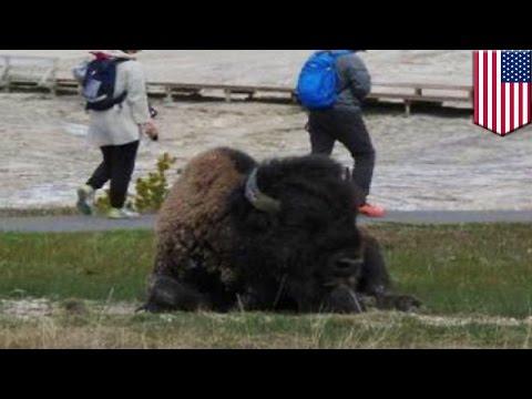 When wild animals attack: Exchange student gored by charging bison at Yellowstone Park - TomoNews