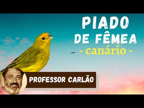 Piado de fêmea para esquentar canário da terra