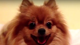 Cute Bouncy Pomerania (pom Pom)