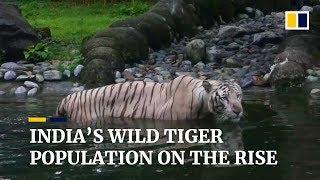 India's wild tiger population has risen to 3,000