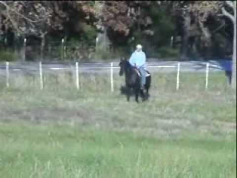 gaited morgan horse