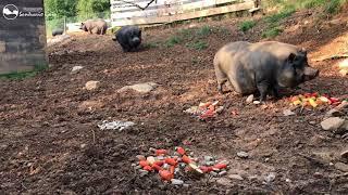Cerdos felices con su caseta arreglada y limpia