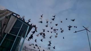 Голуби Украины 2017 Пробный полёт местных голубей с.Песчанка