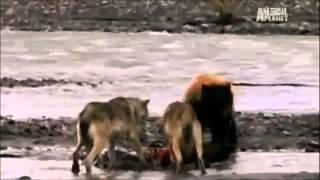 melhores lutas de animais!(part-1)