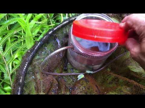 Catching wild betta , caught a pair, - pt  02