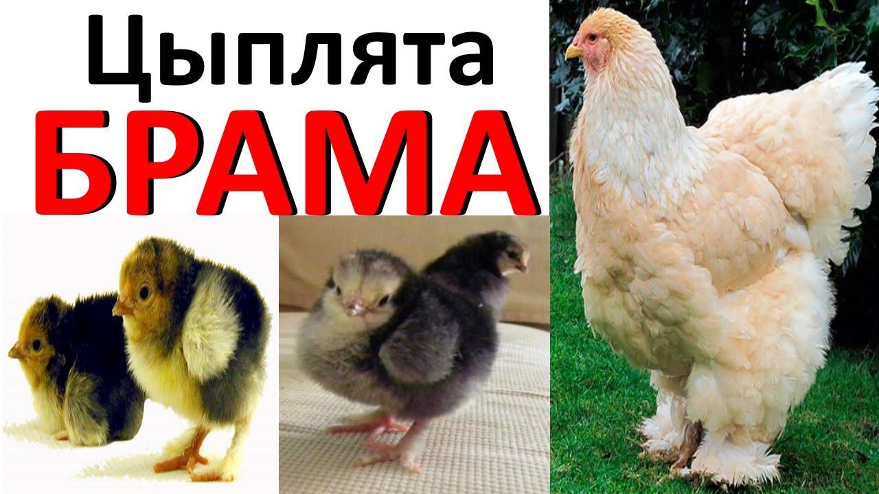 чем кормить цыплят брама