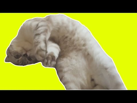 Cute scottish fold cat rolling in bed - ねこ - милый кот