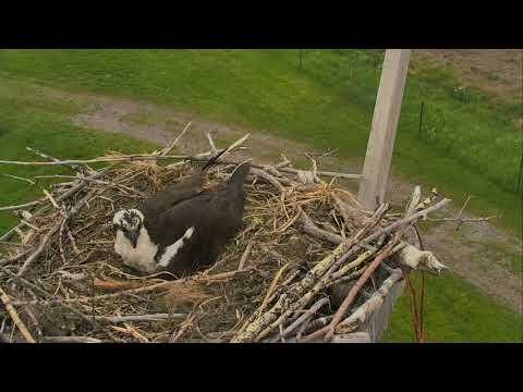 Osprey Nest - Charlo Montana Cam 06-08-2017 14:28:48 - 15:28:48