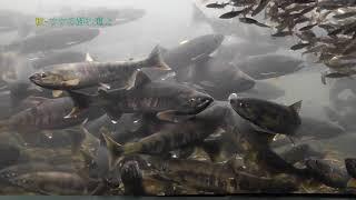 日本最大級の淡水魚水族館ココにあり!サケのふるさと千歳水族館 @北海道千歳市 Chitose Salmon Aquerium, Hokkaido