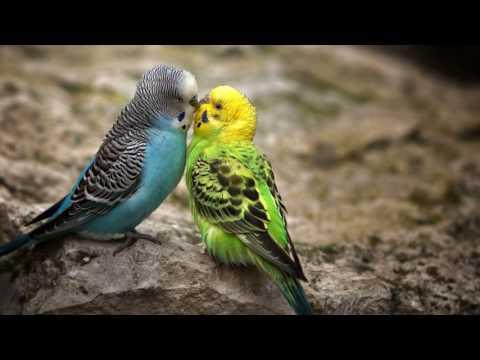 Как понять сколько лет волнистому попугаю