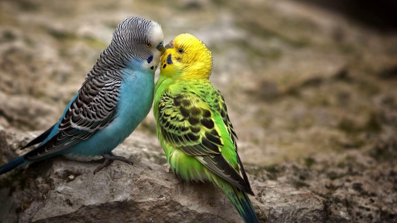 Как узнать, сколько лет волнистому попугаю?