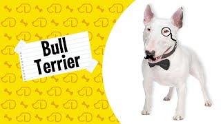 Fatos sobre o BULL TERRIER! #Dogueiros #BullTerrier #Raças