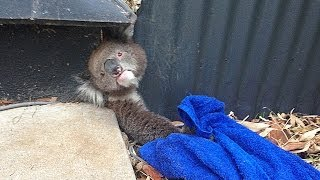 Repeat youtube video Rescuing A Stuck Koala