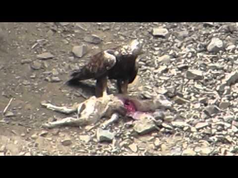 Golden Eagles Hunting Bighorn Lambs (Yakima Canyon Wa)