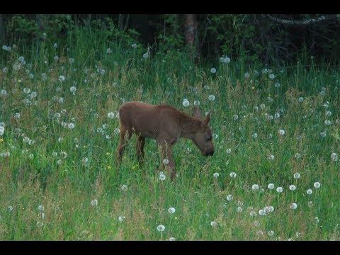 A gorgeous little moose calf (full HD)