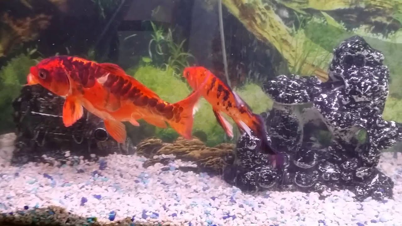 My 100 gallons koi tank doovi for 10 gallon koi tank