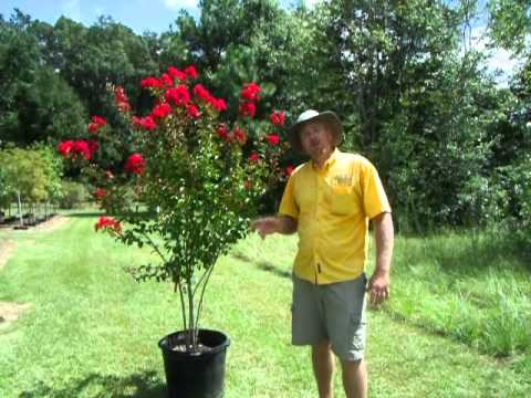Dynamite And Red Rocket Crape Myrtle Youtube