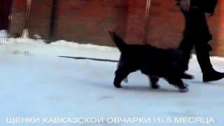 Щенки кавказской овчарки 1,5 мес,. www.r-risk.ru +79262205603 Татьяна Ягодкина.