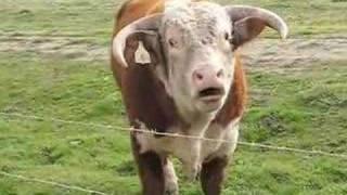 Repeat youtube video Mad Bull Singing Opera In Big Sur California