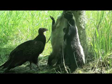 Turkey Vulture Eating Dead Opossum and Skunk.