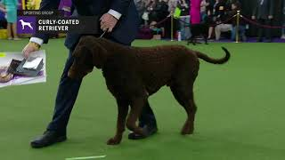 Retrievers (CurlyCoated) | Breed Judging 2019