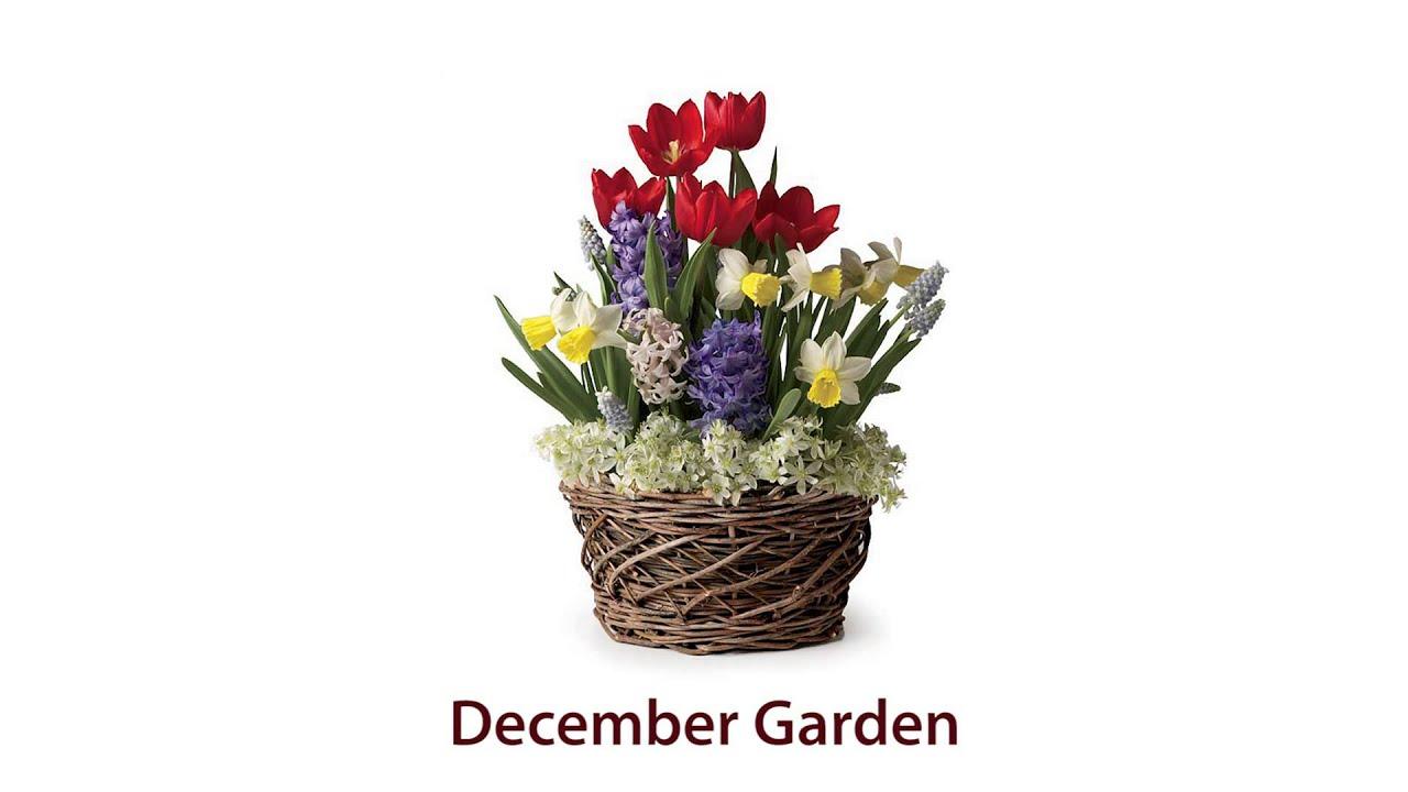 Assorted 19 Bulb Pre Planted Flower Bulb Gift Garden   December Garden  SKU#87064   Plow U0026 Hearth