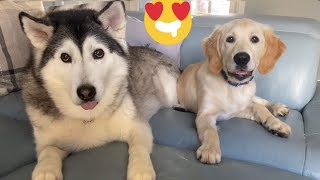 Husky Gets Super Excited To See Retriever Puppy!! [CUTEST VIDEO EVER!!]