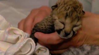 cheetah cubs in nursery after c section cincinnati zoo