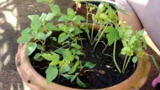 Thailand Kitchen Trick: How to plant and grow the sweet Thai basil